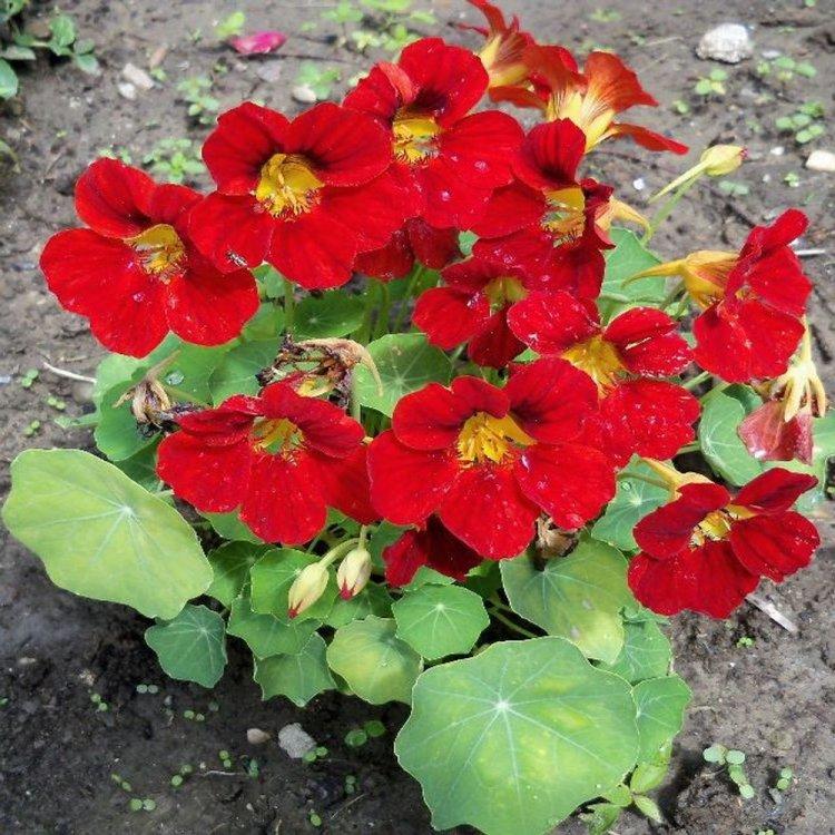 Настурция Черри Роуз, семена цветов, Legutko, Польша.