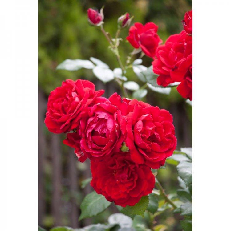 """Роза полиантовая сорт """"Лили Марлен"""" интенсивно красная"""