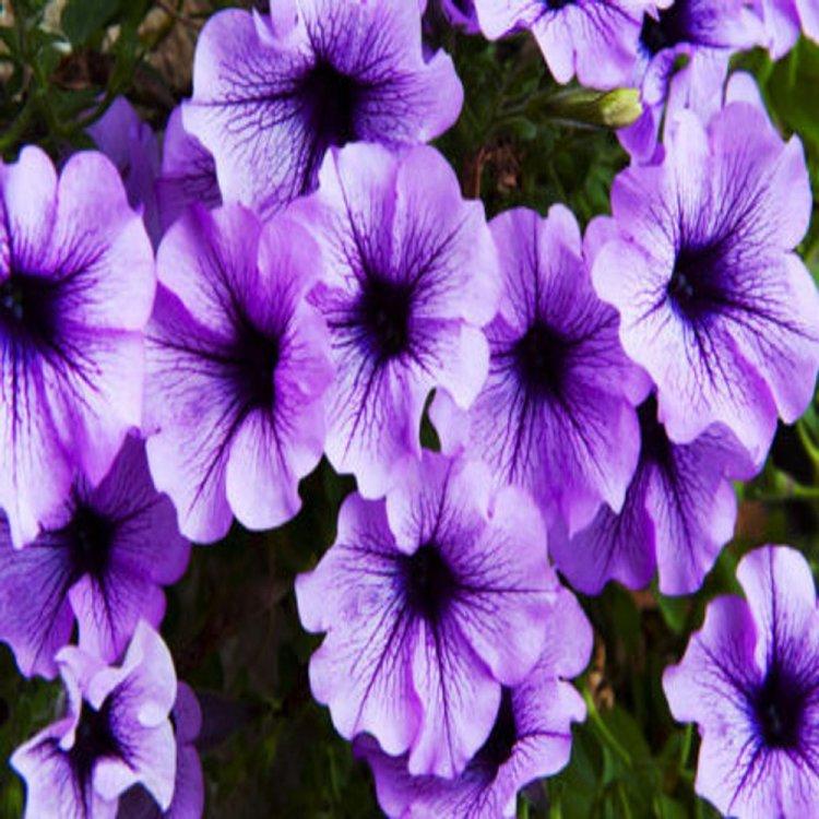 Петуния Фалкон светло-синяя, семена цветов, Legutko, Польша.