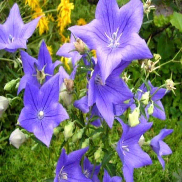 Платикодон  крупноцветковый голубой, семена цветов,  Legutko, Польша