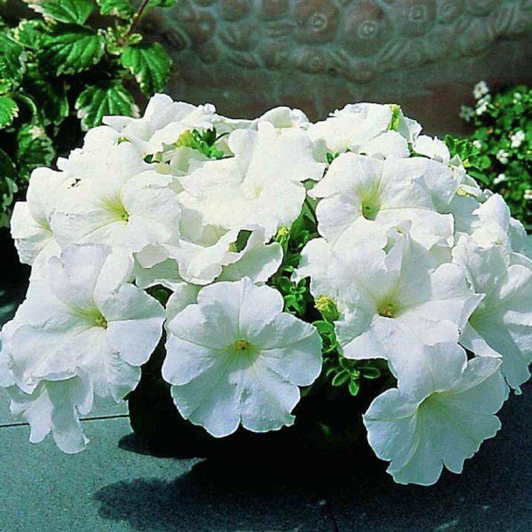 Петуния Фалкон кремово-белая, семена цветов, Legutko, Польша.