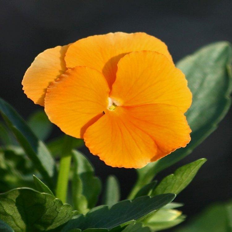 Виола Суприм апельсиновая, семена цветов, Legutko, Польша