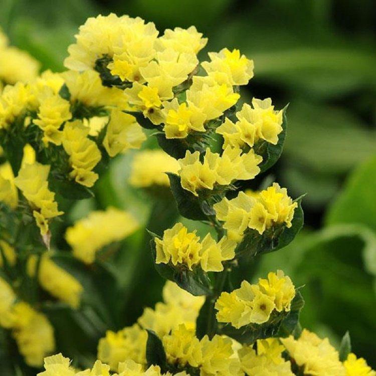 Кермек насыщенно-желтые, семена цветов, Legutko, Польша