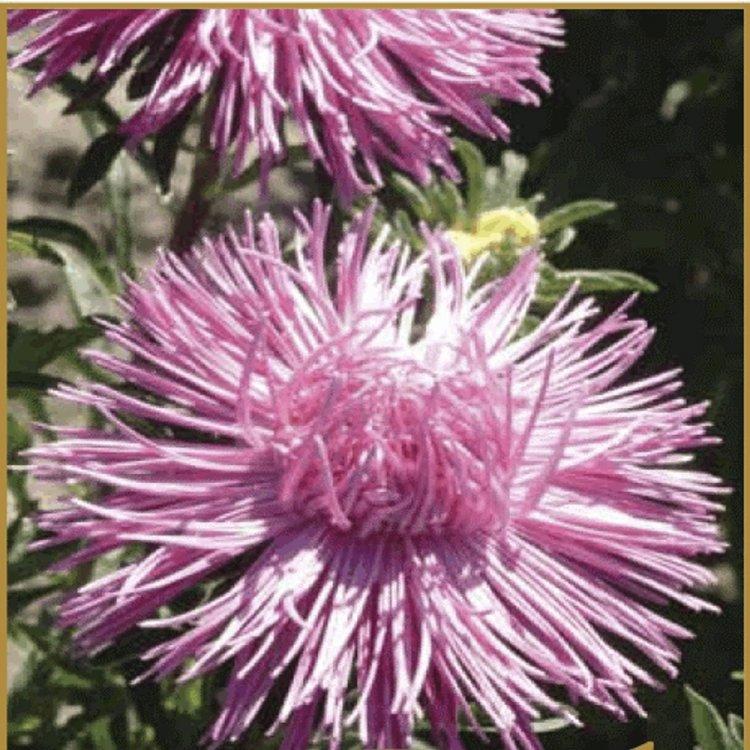 Астра Идеал розовая, семена цветов, Legutko, Польша.