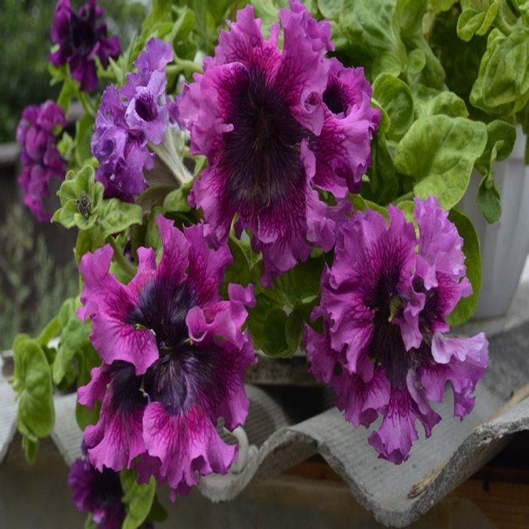 Петуния Черный Триумф, семена цветов, Cerny, Чехия