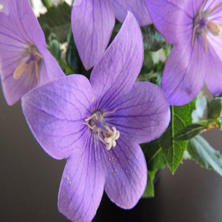 Платикодон Астра лавандовый, семена цветов, Legutko, Польша.