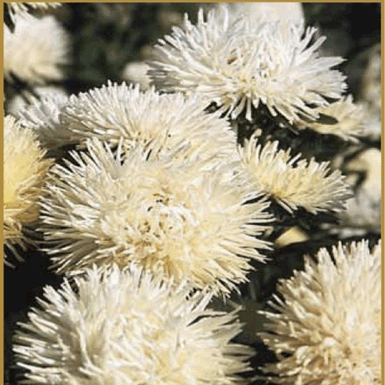 Астра Идеал кремовая, семена цветов, Legutko, Польша.