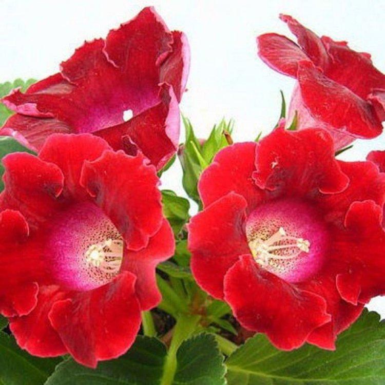 Глоксиния Аванти красная, семена цветов, Legutko, Польша