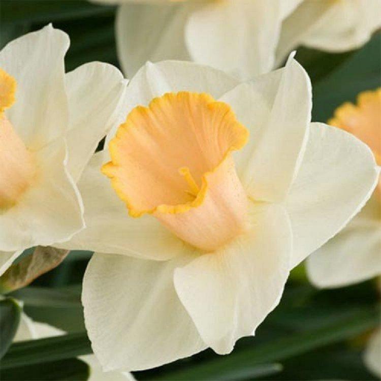 Нарцис крупнокорончатый Салом, луковицы цветов, Legutko, Польша