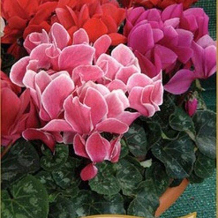 Цикламен персидский мини смесь, семена цветов, Legutko, Польша