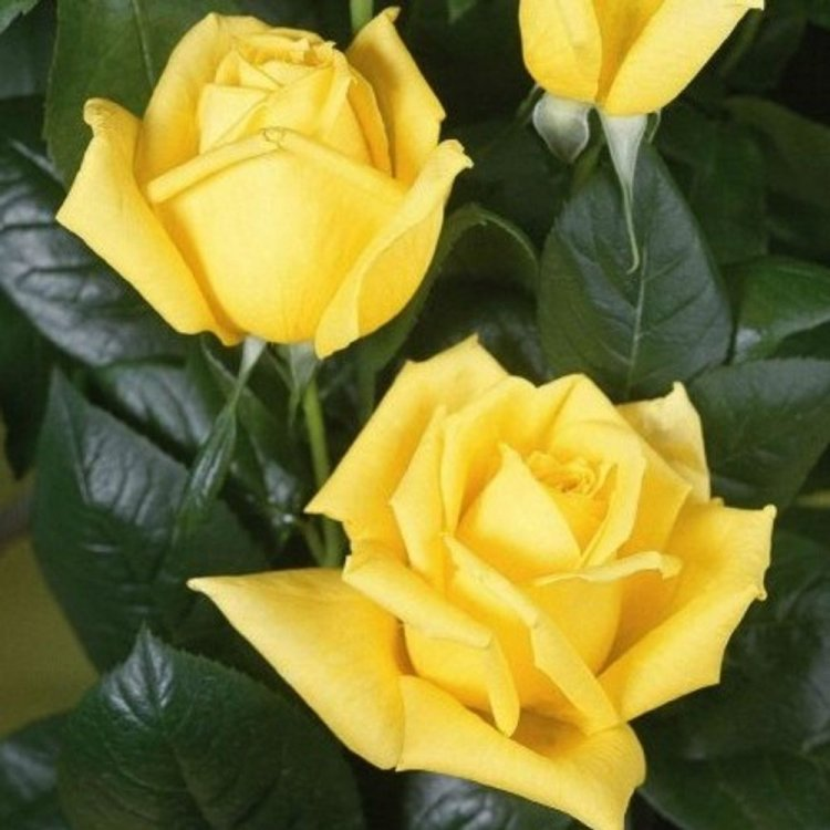 обыкновенная даёт сорта желтых роз с фото и названиями бедра хорошем тонусе