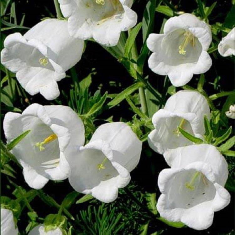 Колокольчик средний белый, семена цветов, Legutko, Польша