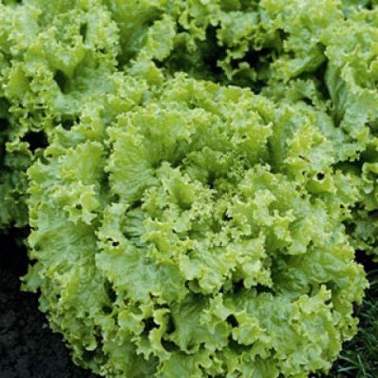 Салат листовой зеленый, Перл Джем, ранний, Enza Zaden, Голландия
