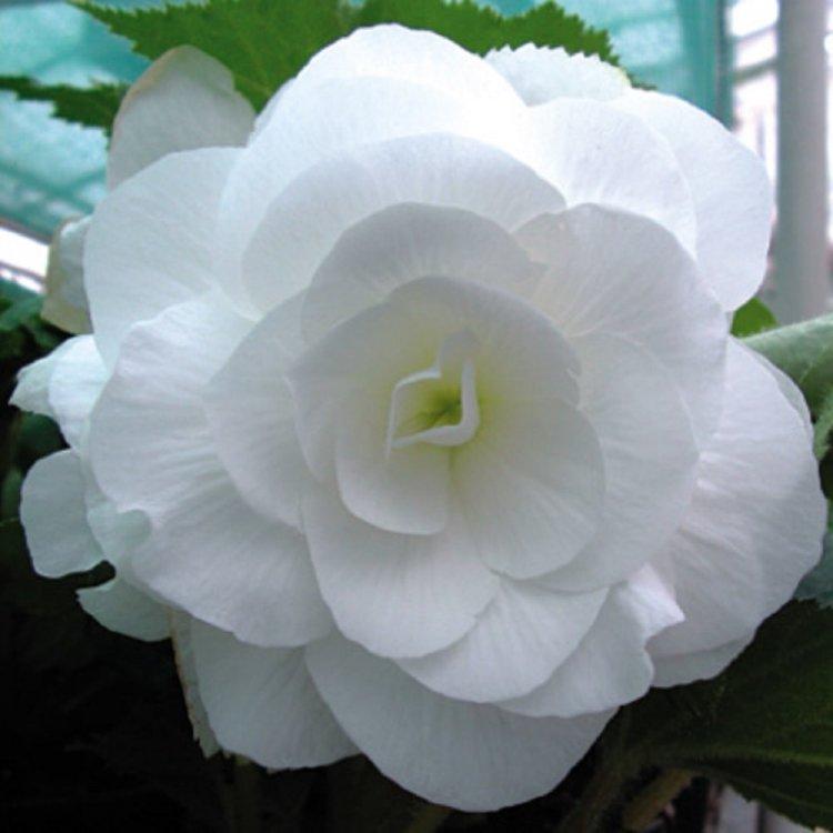 Бегония белая крупноцветковая, семена цветов, Legutko, Польша