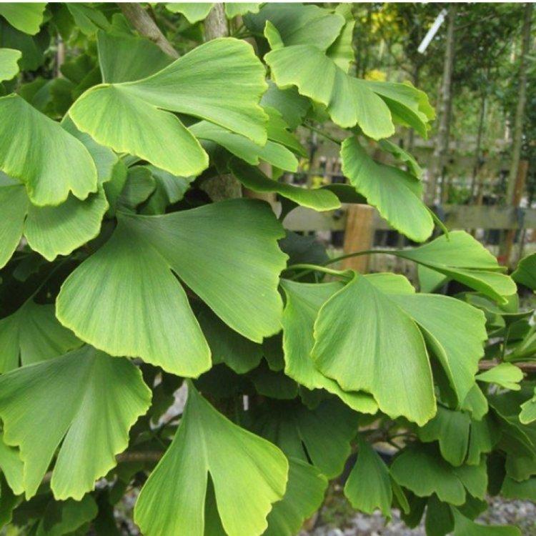 Гинкго Билоба, семена цветов, Legutko, Польша