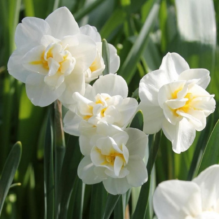 Нарцис многоцветковый Чирфулнесс, луковицы цветов, Legutko, Польша