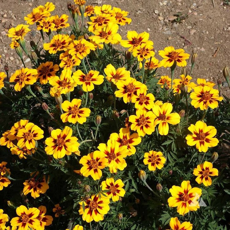 Бархатцы Малышка Мариетта, семена цветов, Legutko, Польша