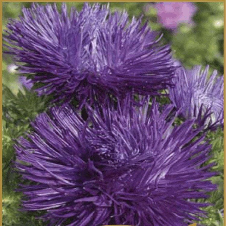 Астра Идеал насыщенно лиловая, семена цветов, Legutko, Польша.