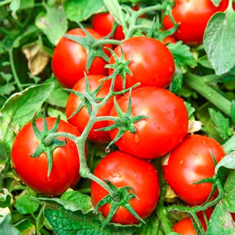 Томат Чибли, сливка, среднеранний, семена, 100 штук, Syngenta, Голландия