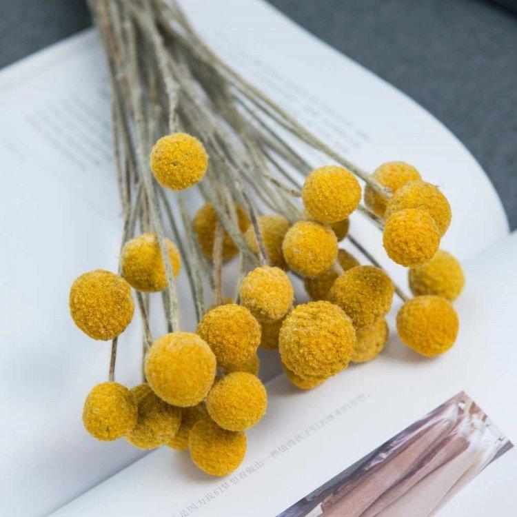 Краспедия шаровидная, семена цветов, Legutko, Польша