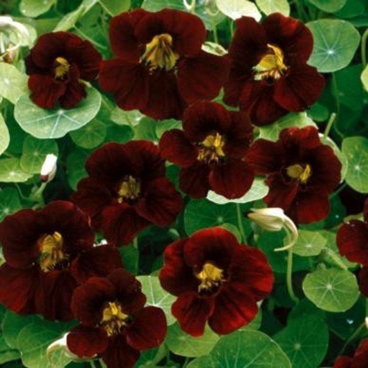 Настурция Блек Вельвет, семена цветов, Legutko, Польша.