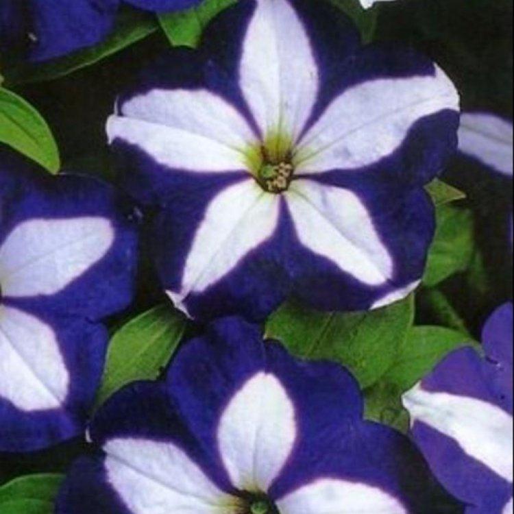 Петуния Лавина синяя звезда, семена цветов, Cerny, Чехия