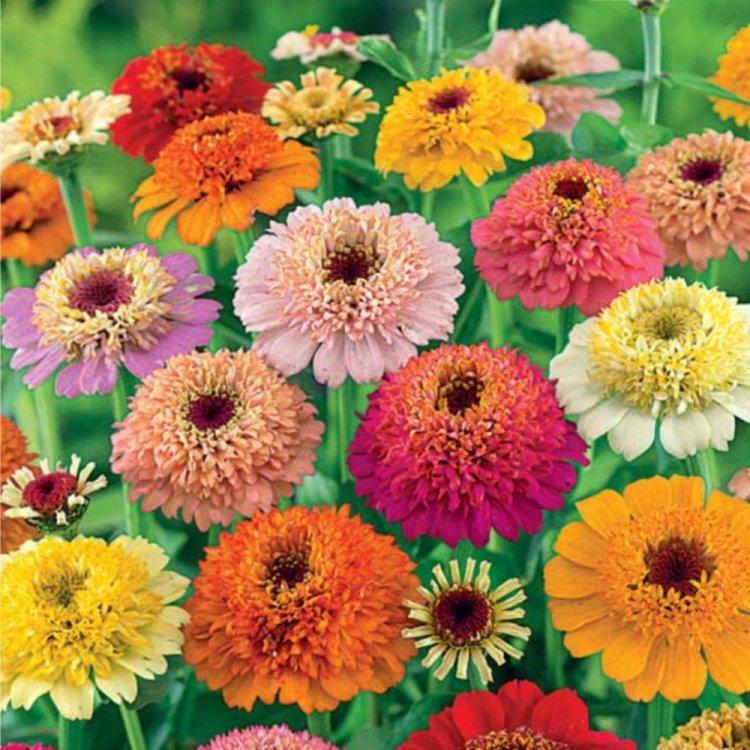 Цинния Скабиозовидная, семена цветов, Legutko, Польша