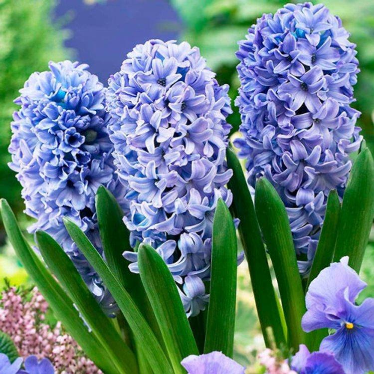Гиацинт Делфт Блю, луковицы цветов 3 шт.
