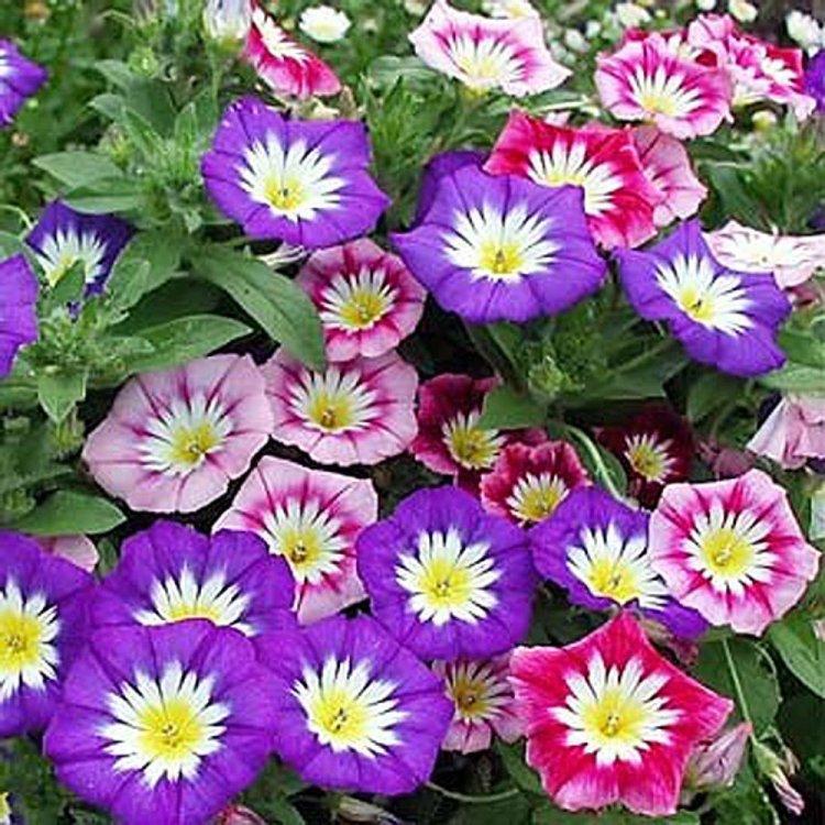 Вьюнок Трехцветный, смесь, семена цветов, Legutko, Польша.