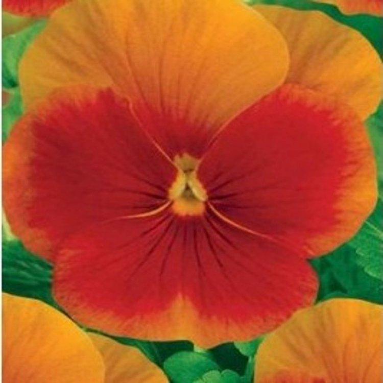 Виола Ультима Бикэн искристо бронзовая, семена цветов, Legutko, Польша