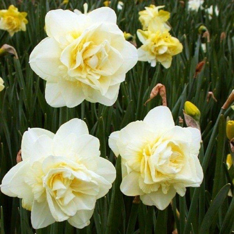 Нарцис полный Обдам, луковицы цветов, Legutko, Польша