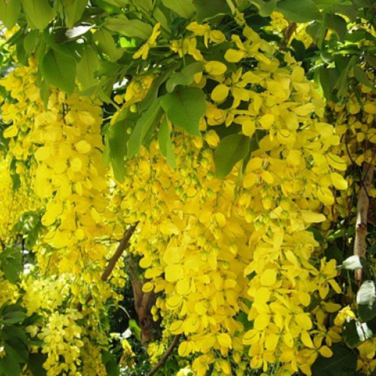 Бобовник, сорт Золотой дождь, Украина.