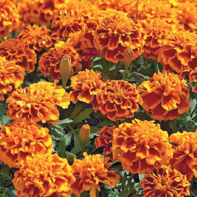 Бархатцы Королева София, семена цветов, Legutko, Польша