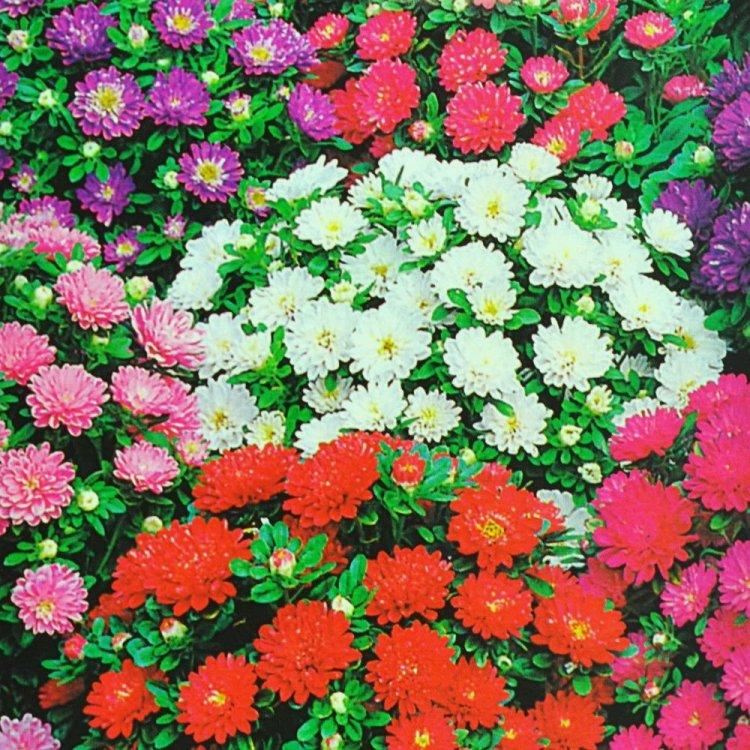 Астра Пиноккио, семена цветов, Legutko, Польша.
