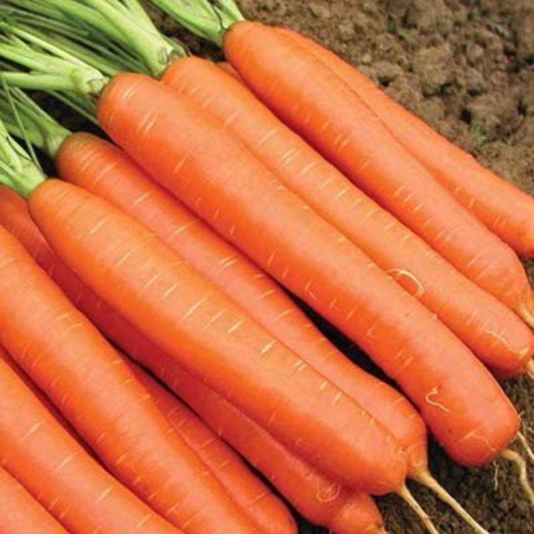 Морковь Нанте Карлена, Legutko, Польша