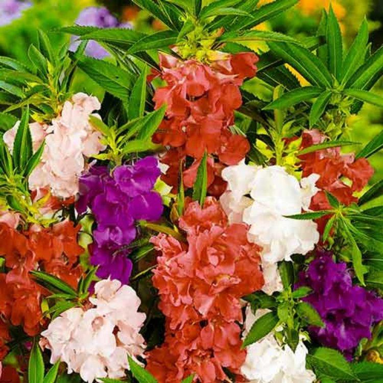 Бальзамин Садовый Камелия, смесь, семена цветов, Legutko, Польша.