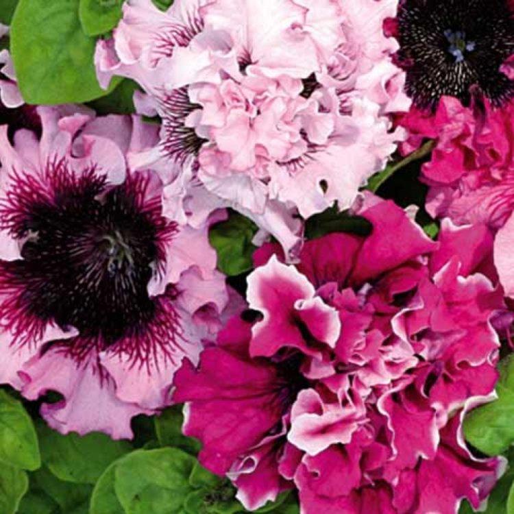 Петуния Черныго Триумф,  смесь, семена цветов, Cerny, Чехия