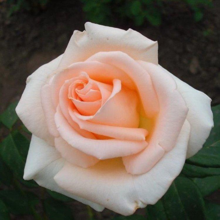 """Роза чайно-гибридная """"Вивальди"""" кремово-белая"""