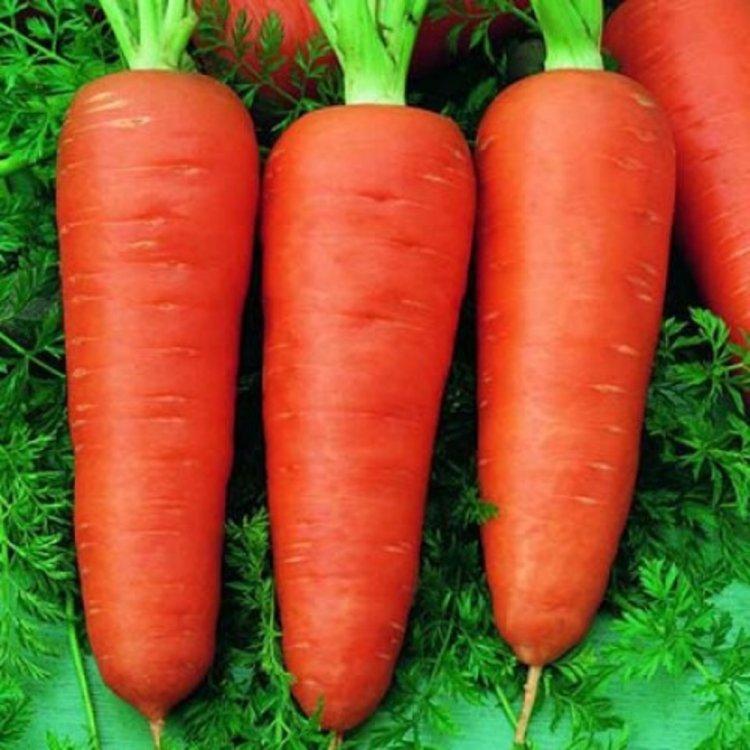 Морковь Долянка, поздняя,  Legutko, Польша