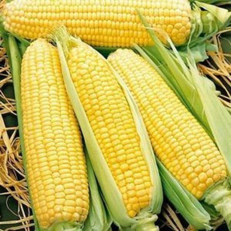 Кукуруза, Спирит, ранняя, Syngenta, Голландия