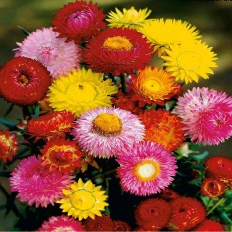 Бессмертник смесь, семена цветов, Legutko, Польша