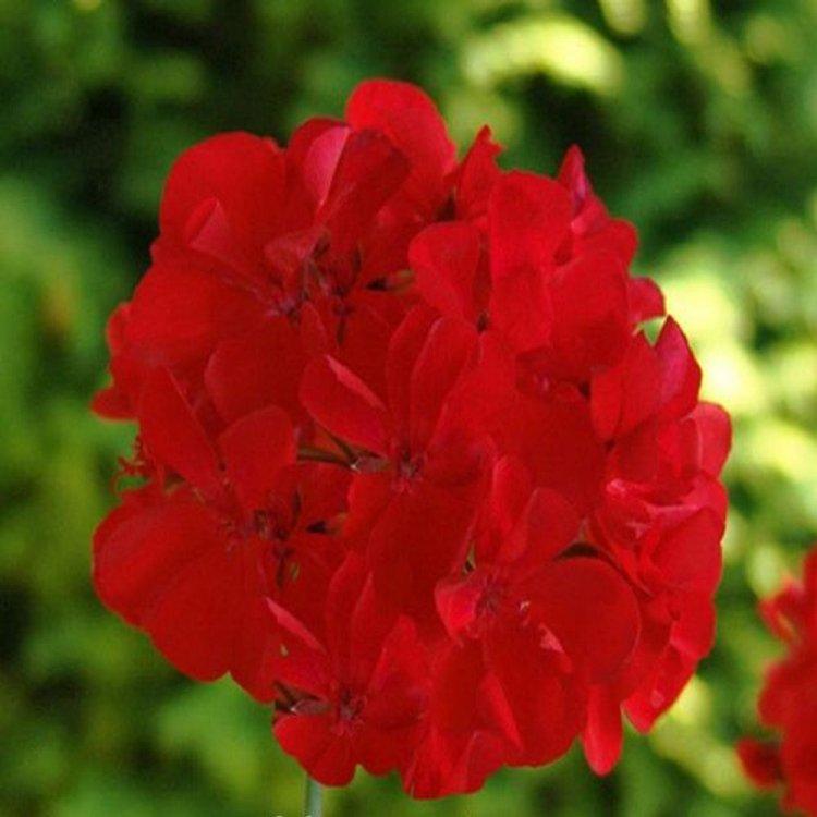 Пеларгония Гизела F1, ярко красная, семена цветов, 5 семян, Чехия Cerny