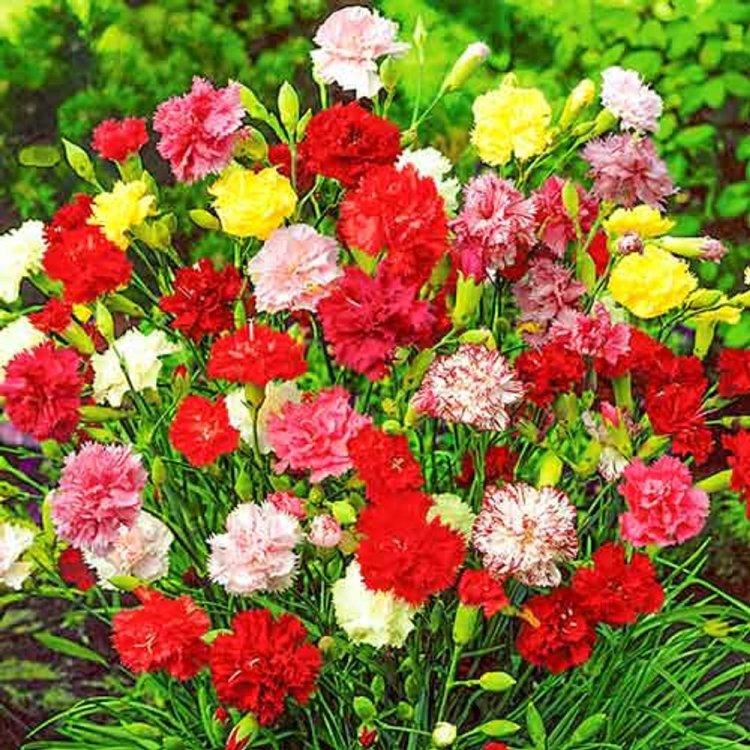 Гвоздика садовая Гренадин, семена цветов, Legutko, Польша.