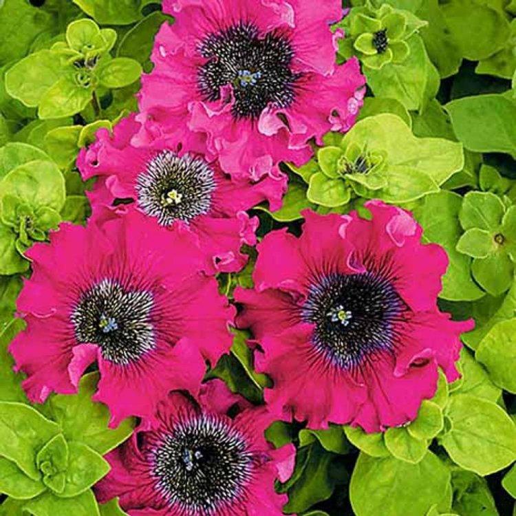 Петуния превосходнейшая Бордо, семена цветов, Cerny, Чехия
