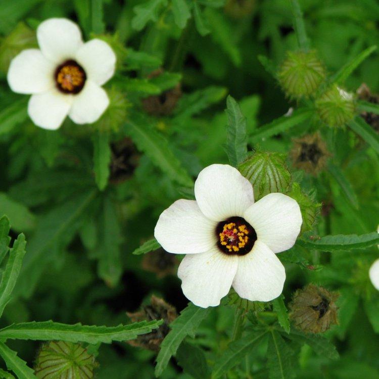 Гибискус тройчатый, семена цветов, Legutko, Польша.
