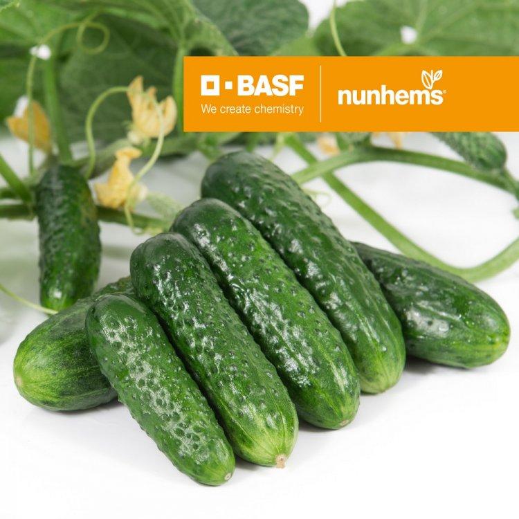 Огурец Проликс F1, ранний, Nunhems BV, Голландия, 7 кг с одного растения
