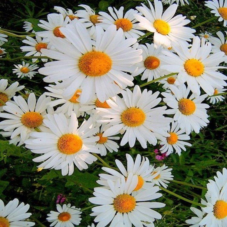 Ромашка садовая, Снежная Леди, семена цветов, Legutko, Польша.