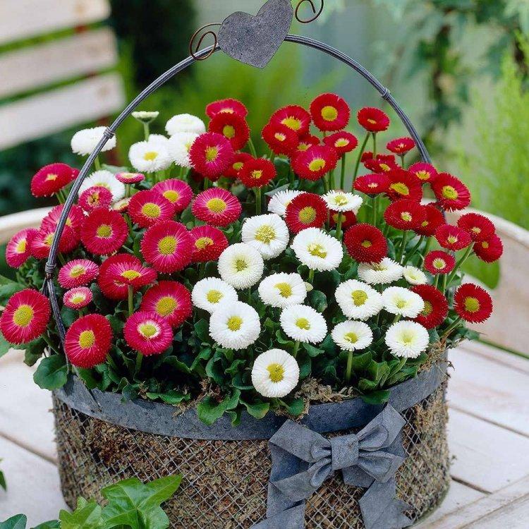 Маргаритка махровая, семена цветов, Legutko, Польша.