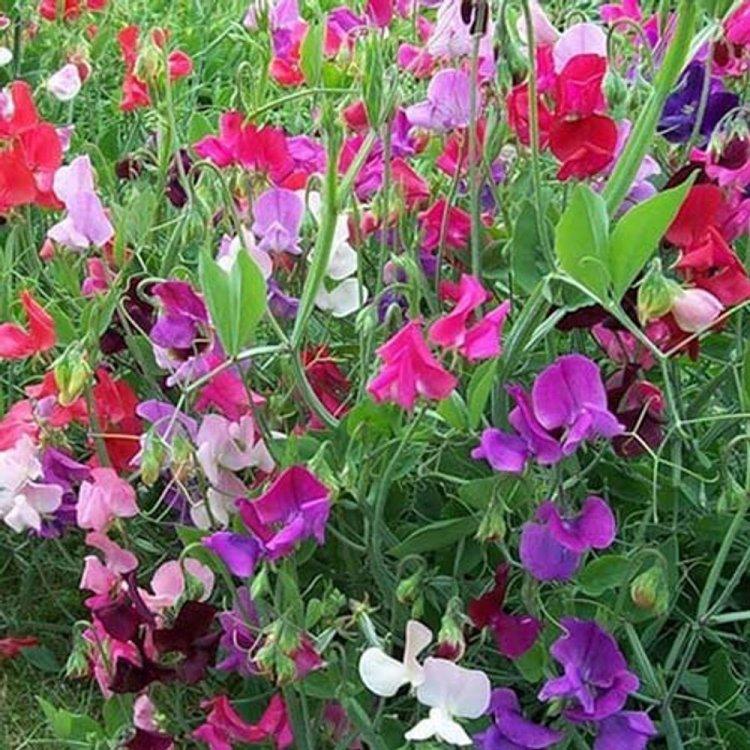 Горошек Душистый, смесь, семена цветов, Legutko, Польша.
