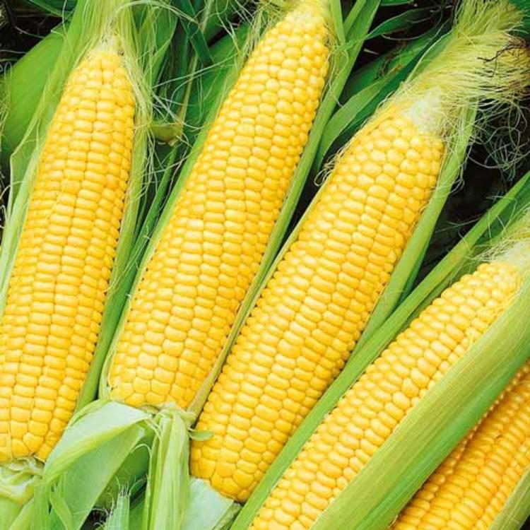 Кукуруза сахарная, сорт Оверленд, Syngenta, Голландия.